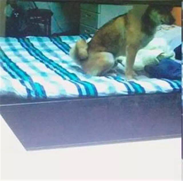 偷爬床钻棉被被发现 这些偷睡床铺的汪汪超可爱