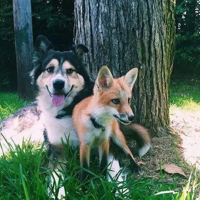 这只狐狸对这条狗的占有方式 居然是这么的特别