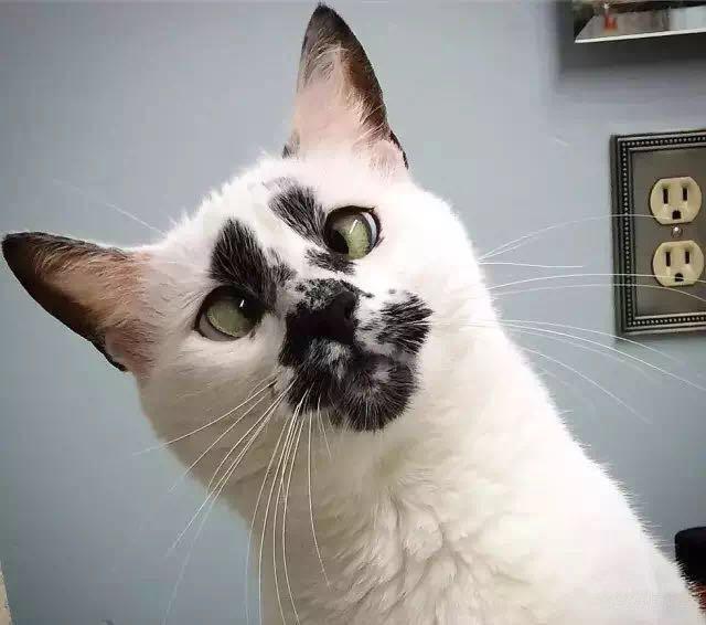 这只猫天生斗鸡眼 盯着看了很多遍 越看越觉得萌