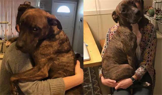 斗牛犬为了报答收养它的麻麻,每天都给她一个大大的拥抱