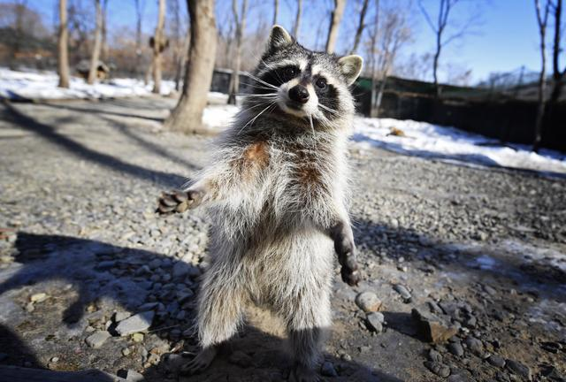 小浣熊这么可爱,为什么不能当宠物养?九条理由了解一下