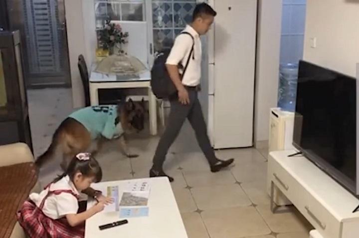 狗狗听到家长进门提醒女孩写作业,这样的配合给满分!