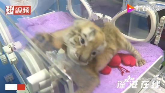 虎头虎脑好可爱!浙江湖州诞生4只小金虎