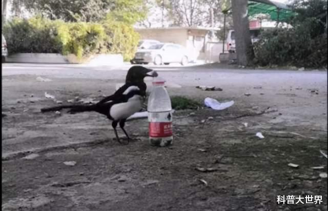 喜鹊还原真实版乌鸦喝水,如果不是有镜头看着,简直不敢相信这一幕!