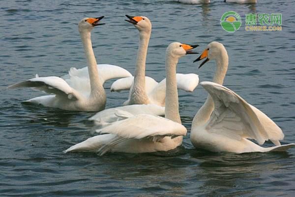 高度警惕!山西发生野生天鹅禽流感疫情