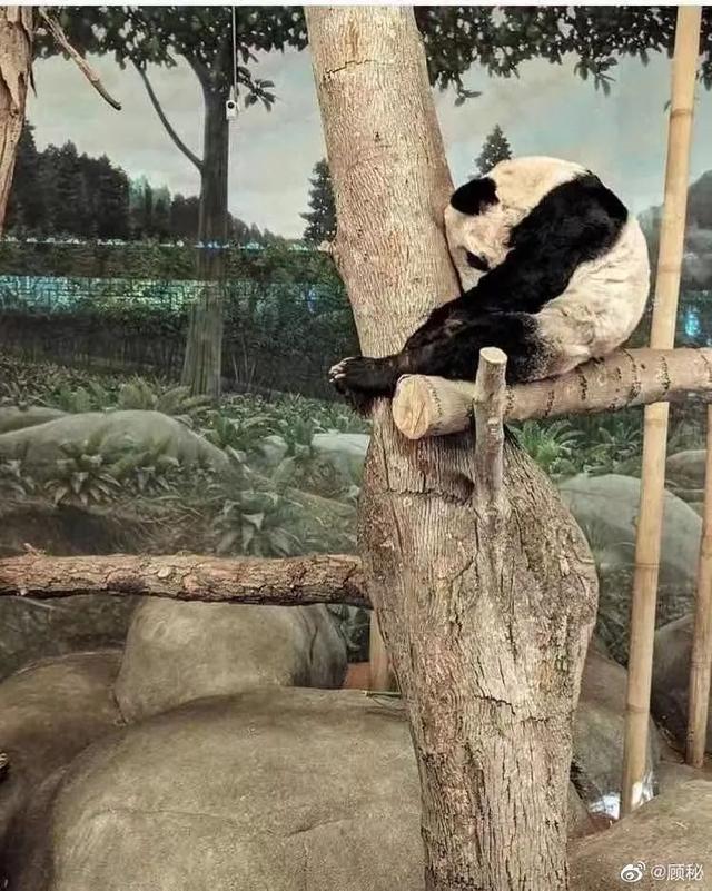 官方回应旅美大熊猫瘦骨嶙峋