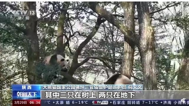 """""""比武招亲""""?野生大熊猫为争配偶激烈打斗,网友:都是国宝,公平竞争"""