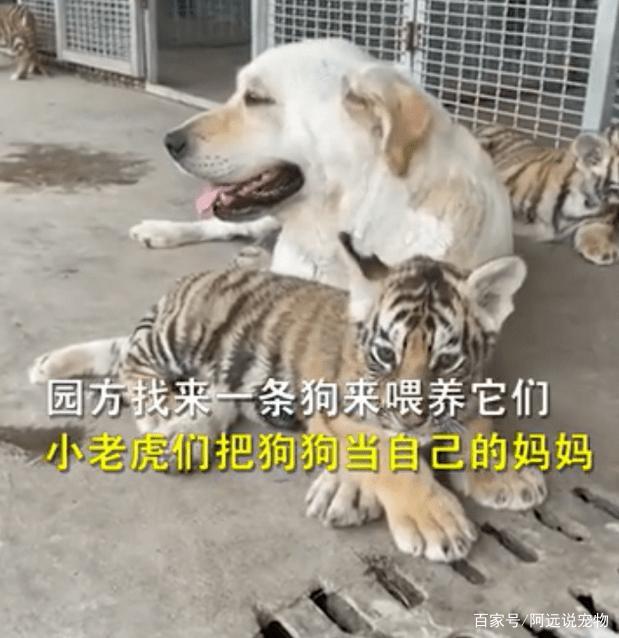 虎妈不肯喂奶,园方直接找了狗子给虎崽喂奶
