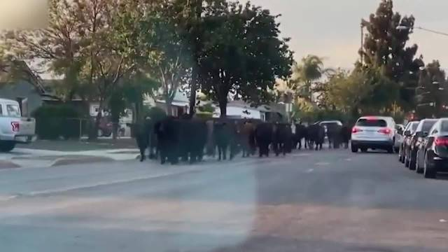 洛杉矶约40头奶牛集体逃离屠宰场在社区狂奔