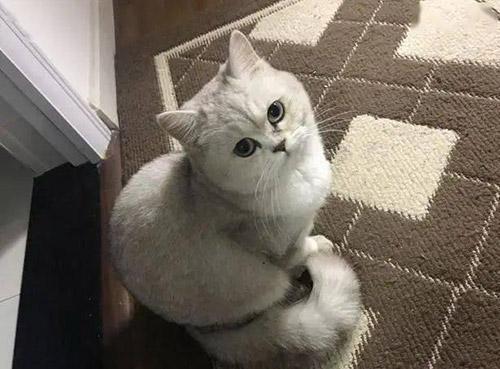 英短猫这7个表现,是在向你暗示自己生病了,主人别大意了