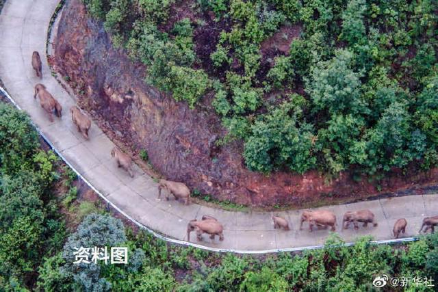 云南北移亚洲象群平安回归栖息地