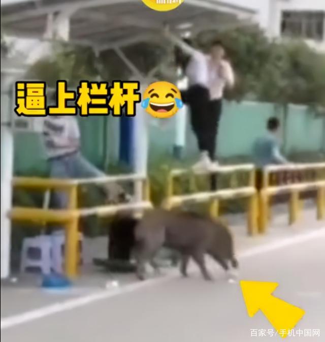 野猪大闹驾校 结果被5只狗打败 网友:汪汪队打败了猪猪侠